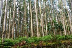 3a.-Eucalyptus-Near-Ventosa